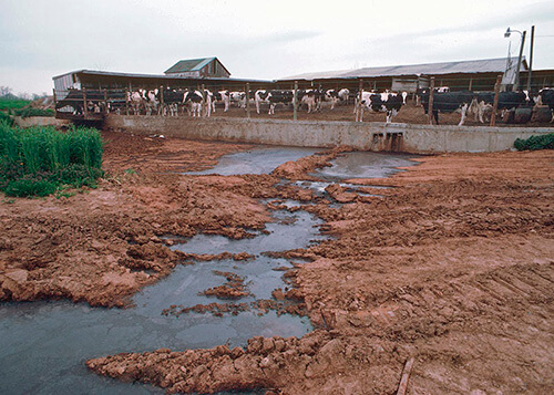 cow manure in Philippines