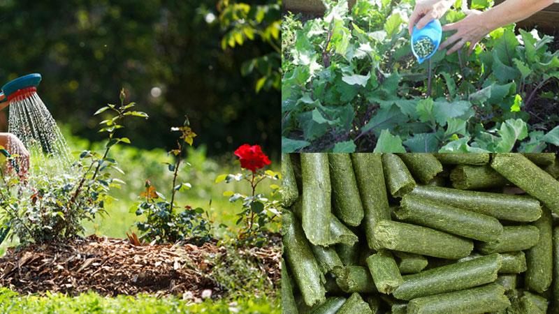 alfalfa in garden
